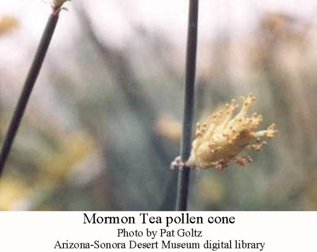 Mormon Tea 2
