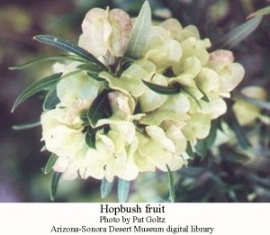 Hopbush fruit