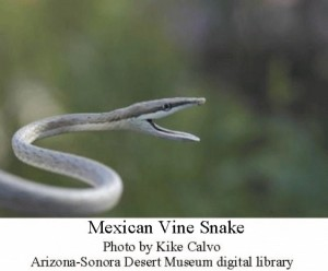 Mexican vine snake