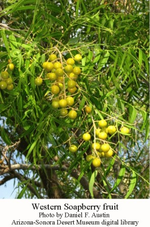 Western soapberry fruit