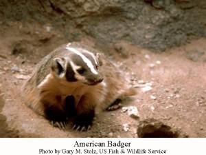 badger USFWS