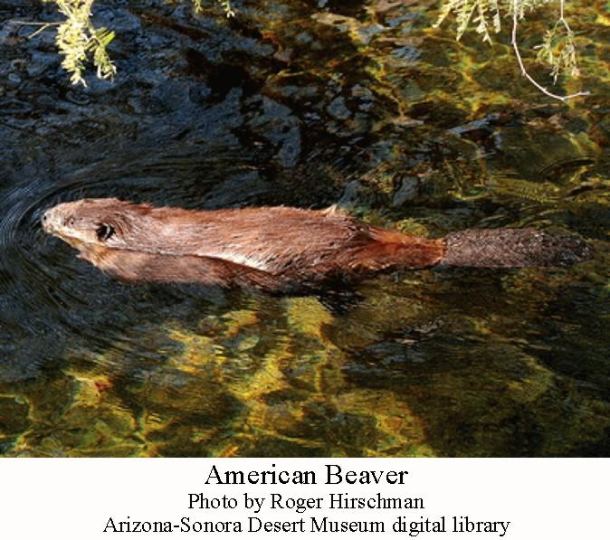 Hairy mature v+beaver