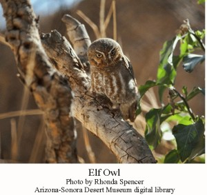 Elf owl 2