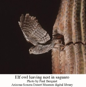 Elf owl 4