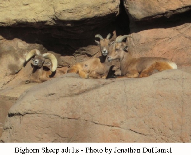 Bighorn sheep adult