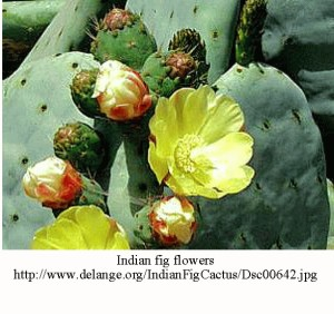 Indian fig flowers