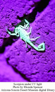 Scorpion glow