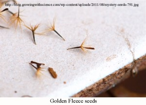 golden-fleece-seeds