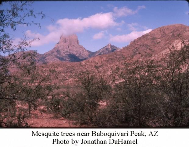 mesquite-at-baboquivari