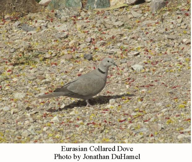eurasian-collared-dove-6
