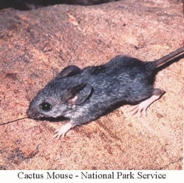 cactus-mouse-nps