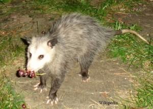 opossum1